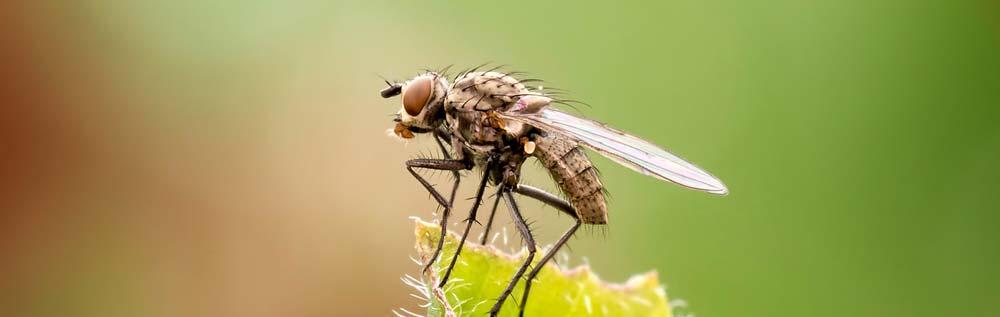 Fliegen - Ungeziefer und Schädlinge