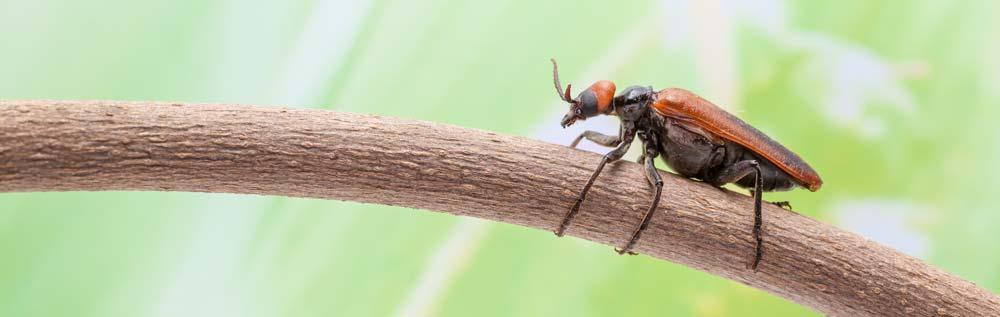 Ungeziefer und Schädlinge - Käfer