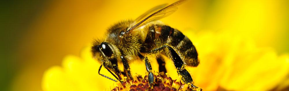 Ungeziefer Bienen